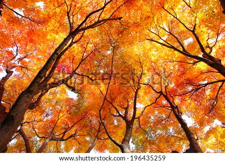 Maple tree in autumn #196435259