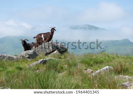 Small herd of Pyrenean goats in the Pyrenees mountains, farmed dairy ruminants to produce organic French cheese Royalty-Free Stock Photo #1964401345