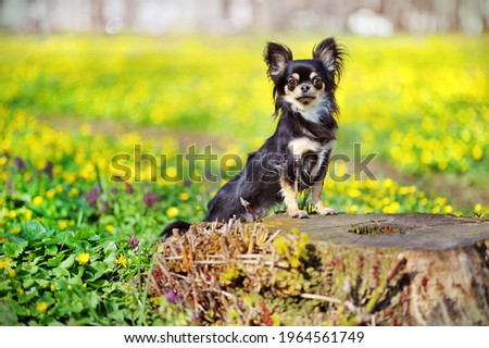 Full length picture of chihuahua standing on the stump in the forest
