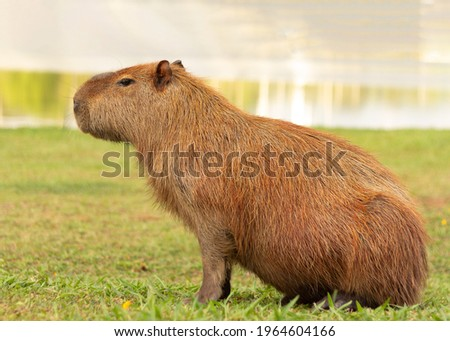 Portrait of one single capybara, posing for the picture, sitting in the grass and been beautiful.