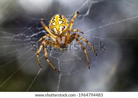 "A beautiful  Macro-photo of a beautiful female   spider ""Neoscona adianta"""