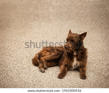 Old homeless dog rest. Stray dog lies on ground. Senior mongrel sad look. Red-haired pet on the street. Old doggy lies on sidewalk A stray doggie lies on the asphalt. Sad look of a dirty brown doggie Royalty-Free Stock Photo #1965000436