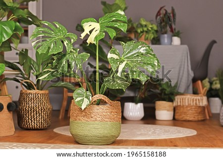 Tropical 'Monstera Deliciosa Thai Constellation' houseplant with beautiful white sprinkled varigated leaves in basket flower pot in living room with many plants in burry background Royalty-Free Stock Photo #1965158188