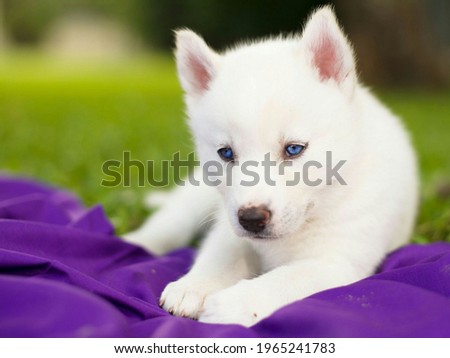 The picture of white husky dog