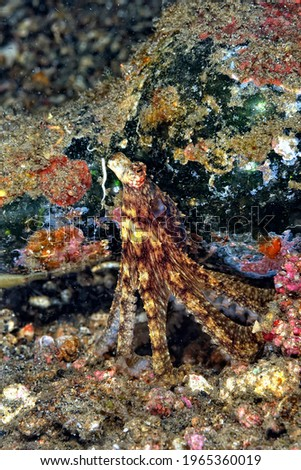 A picture of a beautiful coconut octopus
