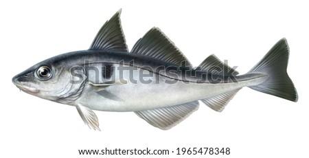 realistic digital color scientific illustration of haddock in profile on white background