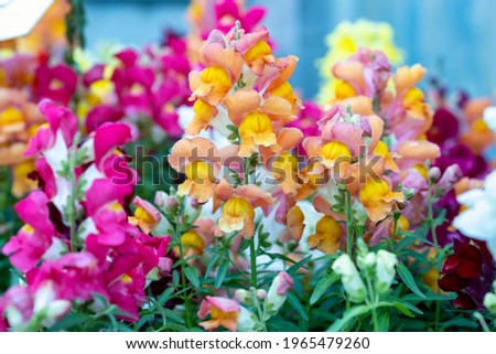 Antirrhinum majus, the common snapdragon. This plant is also called lion's mouth, rabbit's mouth or lion's snap. It produces colorful flowers. It is native to the Mediterranean region. Royalty-Free Stock Photo #1965479260