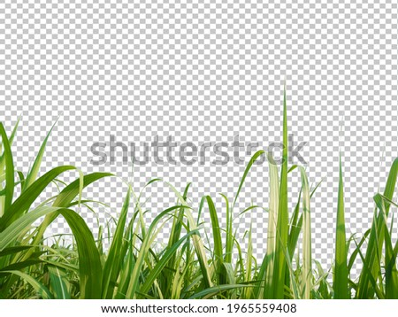 sugar cane leave on transparent picture background with clipping path