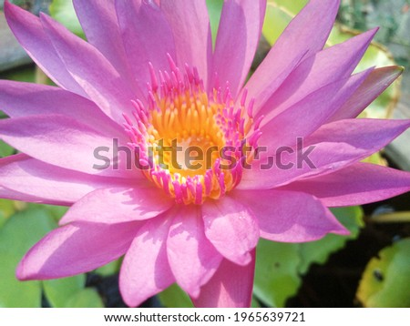 Top view picture of beautiful pink lotus flowers in the pond, The center of pollen and nectar to lure insects of the lotus flowers that bloom in the morning.