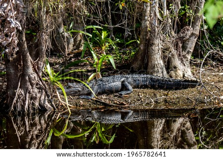 """Copeland, Florida.  Fakahatchee Strand State Preserve.   Young juvenile American Alligator """"Alligator mississippiensis"""" basking in the sun in the Everglades. Royalty-Free Stock Photo #1965782641"""