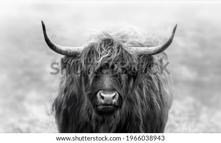 Intense stare game with this young scottish highlander. Shot on a cold morning. In The Netherlands Royalty-Free Stock Photo #1966038943