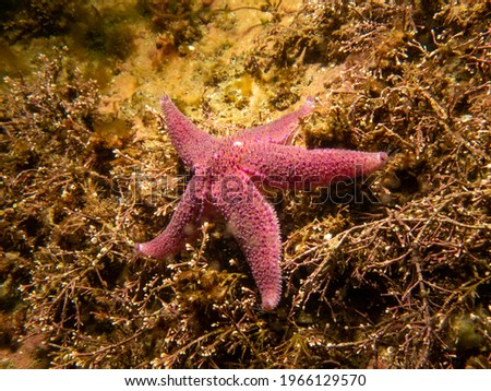 A bright pink starfish in cold North Atlantic water. Picture from a scuba dive in Skagerakk and the Weather Islands on the Swedish west coast.
