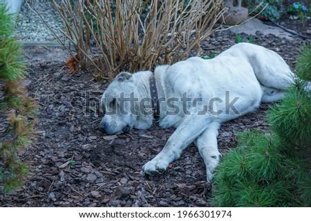 White cute dog sleeps on ground Royalty-Free Stock Photo #1966301974