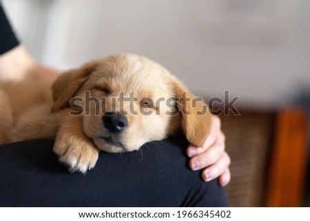 Golden labrador puppy resting on a white sofa Royalty-Free Stock Photo #1966345402
