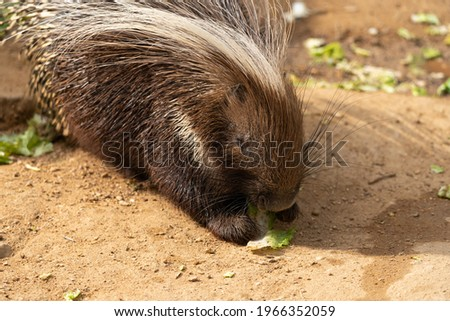 Crested porcupine - Hystrix cristata - Porcupine enjoying lunch, detail on its head
