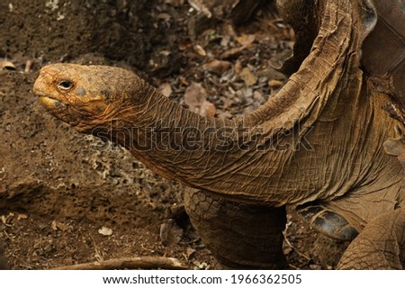 The Galapagos tortoise complex or Galapagos giant tortoise complex (Echelons nigher and related species) is a species complex of 15 (12 extant and 2-3 extinct) very large tortoise species in the genus Royalty-Free Stock Photo #1966362505