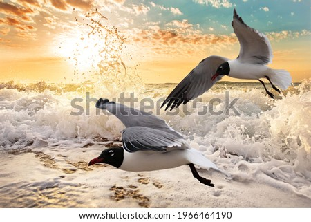 Seagulls flying over a foaming ocean at sunrise, in Galveston, Texas. Royalty-Free Stock Photo #1966464190
