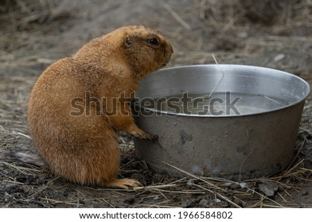 A small prairie dog eating and drinking water from a bowl. A cute furry cynomys sitting upright. A little herbivorous mammal outdoors in a national park. A cute and durious creature sitting in a zoo. Royalty-Free Stock Photo #1966584802