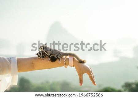 Sugar Glider, Picture of a female pair of sugar gliders. Squirrel , Pet portrait on arm. Sugar glider breed.