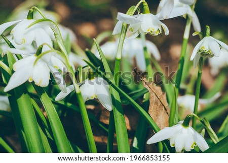 Close up of common snowdrops in bloom. High quality photo Royalty-Free Stock Photo #1966853155