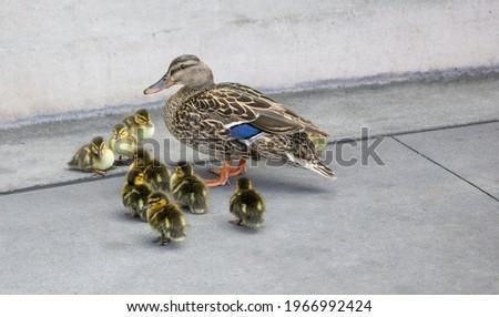 Mallard mama duck with her ducklings gathered around.