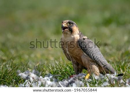 Portrait of a beautiful Peregrine Falcon (Falco peregrinus) on the ground eating a prey. Falco peregrinus in the nature habitat.