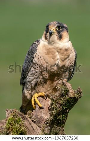 Beautiful Peregrine Falcon (Falco peregrinus) on a branch. Falco peregrinus in the nature habitat.