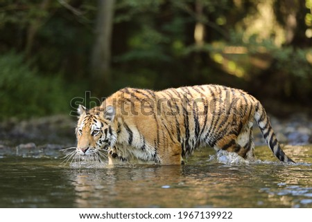 The Siberian tiger Panthera tigris Tigris, or Amur tiger Panthera tigris altaica in the forest walking in a water. Tiger with green background Royalty-Free Stock Photo #1967139922