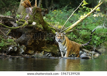 The Siberian tiger Panthera tigris Tigris, or Amur tiger Panthera tigris altaica in the forest walking in a water. Tiger with green background Royalty-Free Stock Photo #1967139928