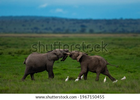Two young tuskers on a friendly clash by the natural scape of African savannah Royalty-Free Stock Photo #1967150455