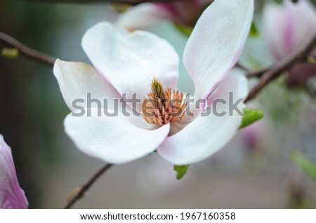 Beautiful purple magnolia flowers in the spring season on the magnolia tree. Blue sky background. Magnolia bloom.