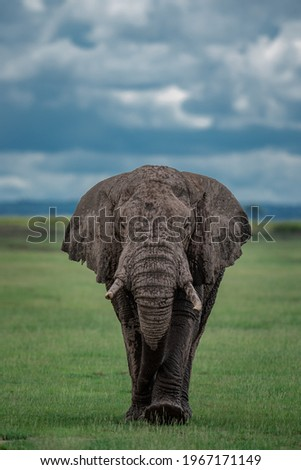 The bold African tusker - Male Elephant Royalty-Free Stock Photo #1967171149