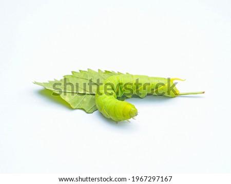 ิbig green worm was bending over on the fresh green leaves on white background,isolate