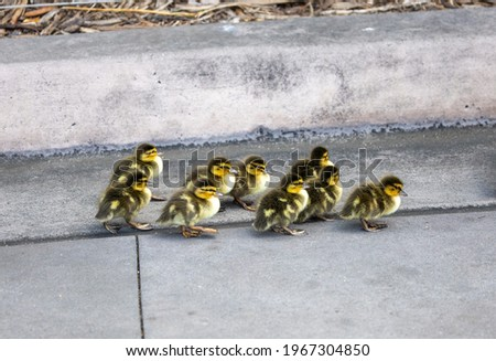 A group of mallard ducklings walking together after mother duck.