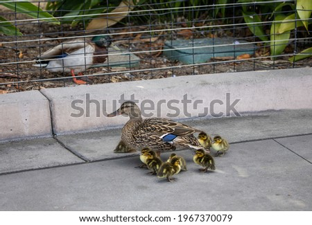Mallard father duck watching mama duck and ducklings through a wire fence.