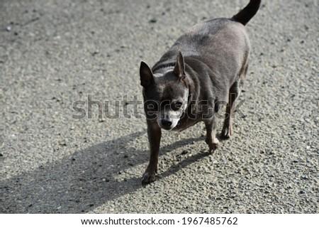 Old Chihuahua photographed near Shelton, WA, USA.