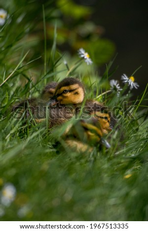 Picture of small little ducklings