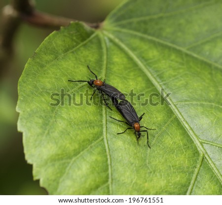 Two mating black and red lovebugs on a green leaf