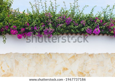 Bougainvillea flowers close up.Blooming bougainvillea.Bougainvillea flowers as a background.Floral background. Violet bougainville flowers blooming on white wall. Tenerife flowrs. Tenerife flora.Malta Royalty-Free Stock Photo #1967737186