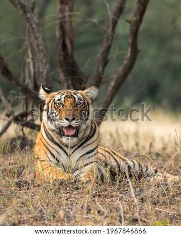 Wild bengal tiger resting in natural green - panthera tigris tigris Royalty-Free Stock Photo #1967846866