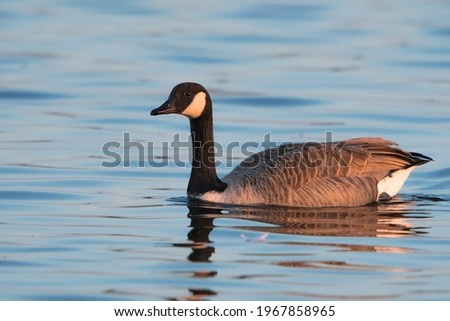 Canada Goose (Branta canadensis) adult swimming in water of a lake at dawn Royalty-Free Stock Photo #1967858965