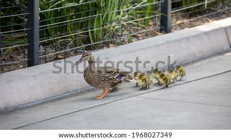 Mother mallard duck leading ducklings.