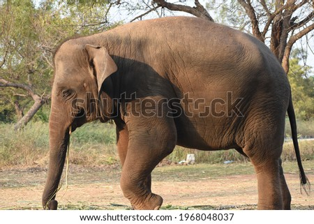 beautiful asian female indian elephant Elephas maximus indicus in jungle forest Royalty-Free Stock Photo #1968048037