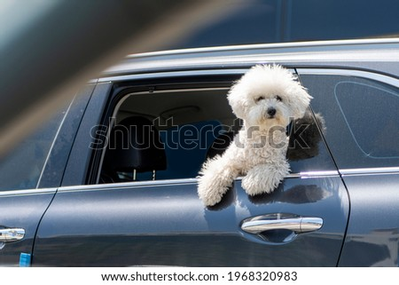 A poodle who happily drives in the back seat of a car. High Resolution Photo Editing Source Book Cover Design Source