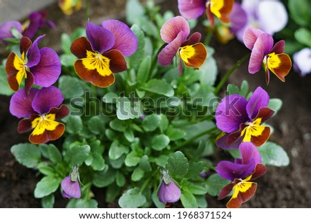 Blue violet flower in the garden. High quality photo Royalty-Free Stock Photo #1968371524