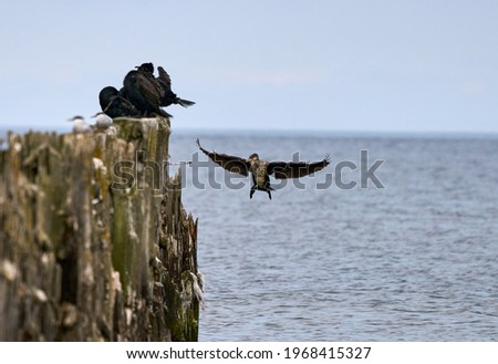 Double-Crested Cormorant Flying in a Blue Sky Royalty-Free Stock Photo #1968415327