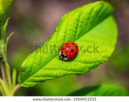 Coccinellidae insect on a green leaf of a tree. Ladybug beetle. Green foliage of trees. Natural background. Insects in nature. Spring season. Sunlight. Background picture.