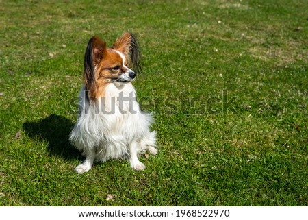 White brown French papillon dog walks on green grass background. Purebred light brown French papillon dog is playing outdoors. Funny playful pet healthy cute cheerful and friendly is walking. Royalty-Free Stock Photo #1968522970