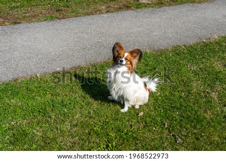 White brown French papillon dog walks on green grass background. Purebred light brown French papillon dog is playing outdoors. Funny playful pet healthy cute cheerful and friendly is walking. Royalty-Free Stock Photo #1968522973