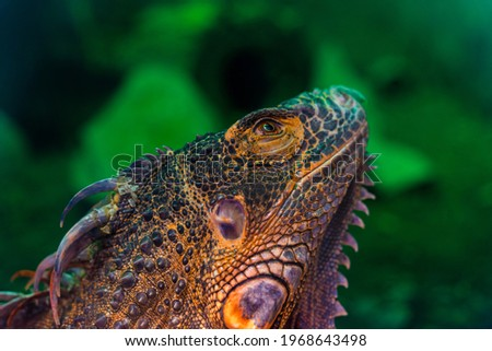 Green iguana. Iguana - also known as Common iguana or American iguana. Lizard families, look toward a bright eyes looking in the same direction as we find something new life. Selective focus. Royalty-Free Stock Photo #1968643498